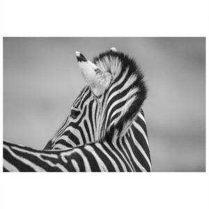 Wildlife Zebra Print